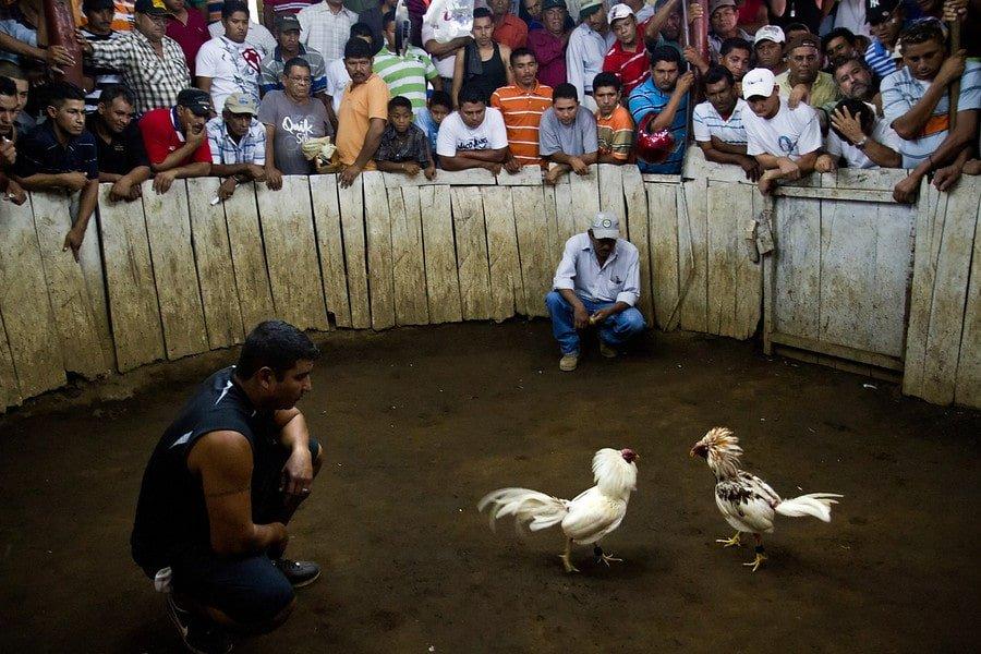 我的中美洲斗鸡经历