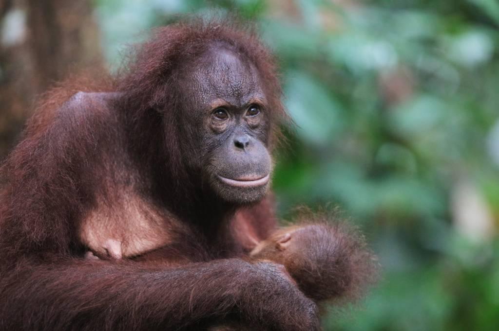 婆罗洲的猩猩;如何看到它们以及需要多少钱